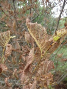 signs_of_drought_alder_acadia